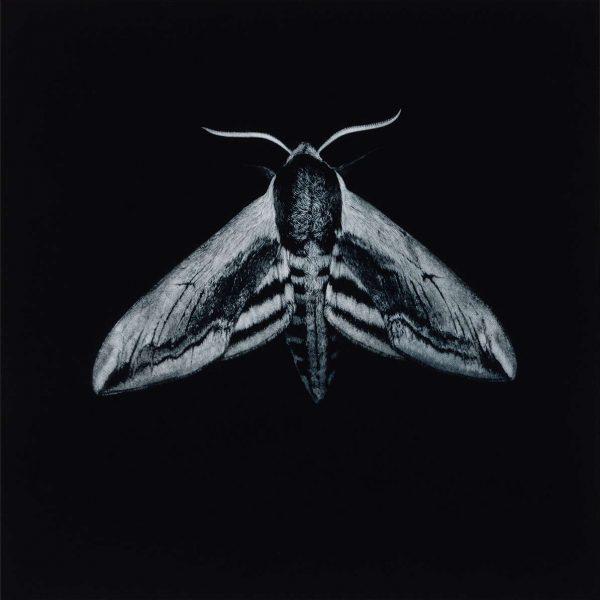 6 Sarah Gillespie^Privet Hawk Moth^Mezzotint^5000x5000^538208